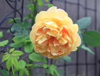 バラの季節 ゴールデン・セレブレーション_c0055363_16431805.jpeg