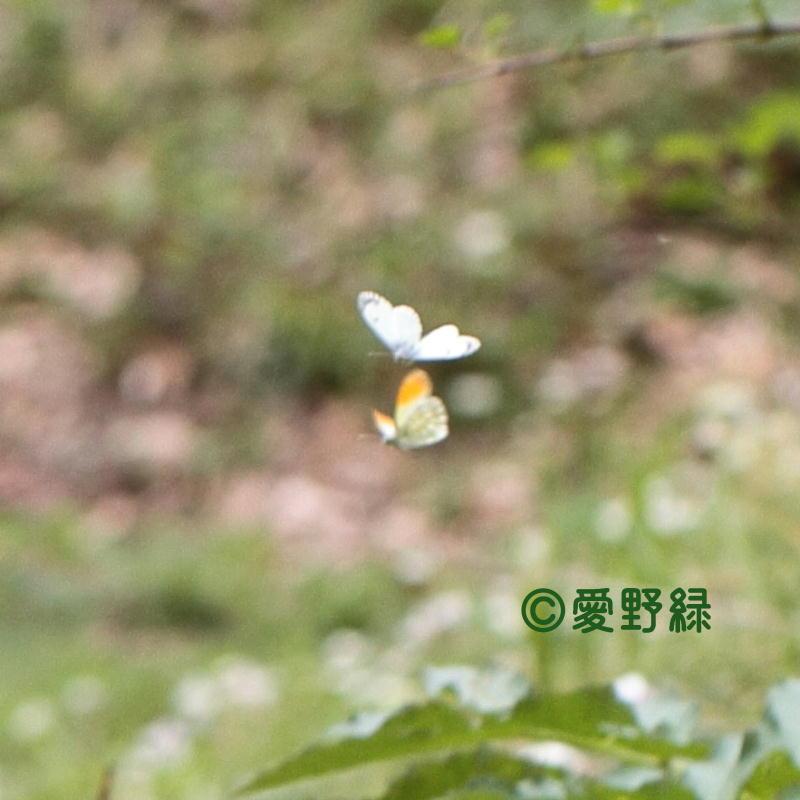 2021年05月24日  クモマツマキチョウ IN長野県_c0048196_22234629.jpg