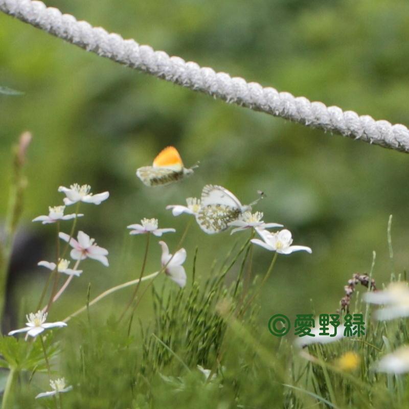 2021年05月24日  クモマツマキチョウ IN長野県_c0048196_22235895.jpg