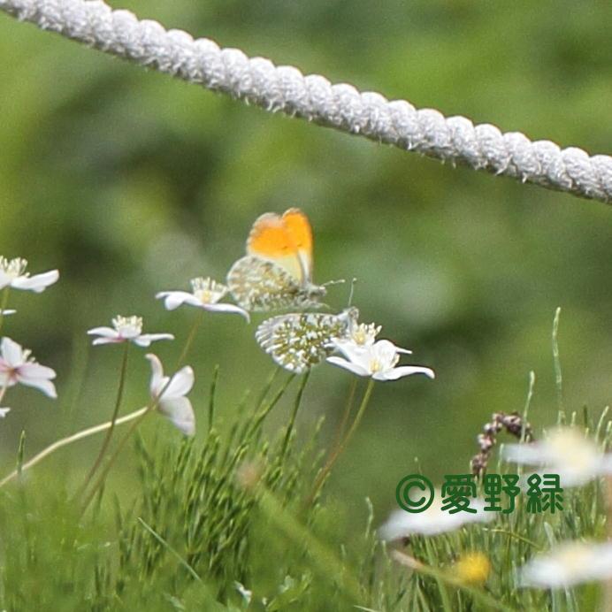 2021年05月24日  クモマツマキチョウ IN長野県_c0048196_22242225.jpg