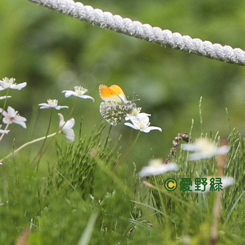 2021年05月24日  クモマツマキチョウ IN長野県_c0048196_22242666.jpg