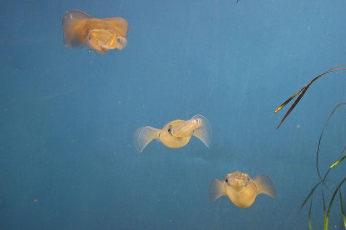 アオリイカの卵(葛西臨海水族園)_b0355317_21333849.jpg