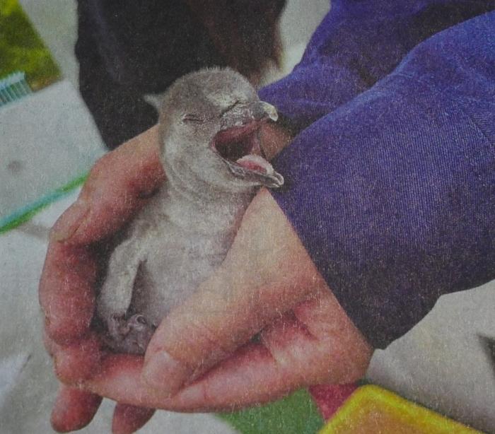 フンボルトペンギンのヒナ  2021-05-31 00:00_b0093754_21461283.jpg