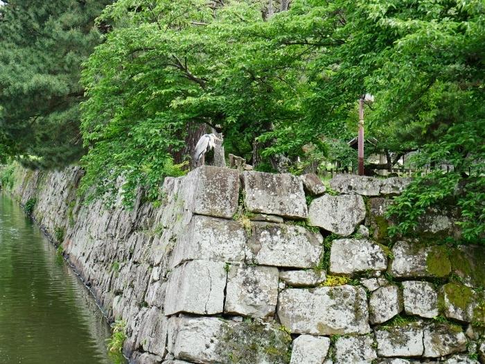 公園に棲むアオサギ  2021-06-02 00:00_b0093754_23152172.jpg