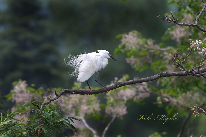 コサギ(Little egret)・・・2_d0013455_21593333.jpg