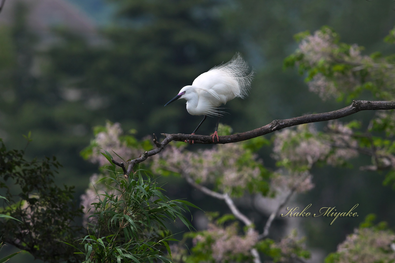 コサギ(Little egret)・・・2_d0013455_21593786.jpg