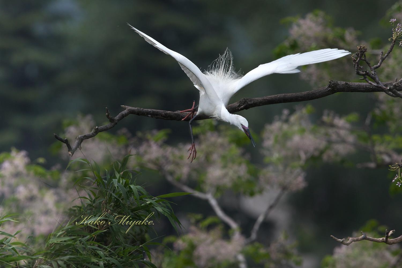 コサギ(Little egret)・・・2_d0013455_21594173.jpg
