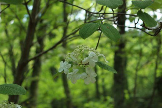 20210523 【奥裾花自然園】植物たち-4_b0013099_21282250.jpg