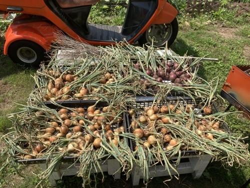 玉ねぎ収穫!_c0331145_21361462.jpg