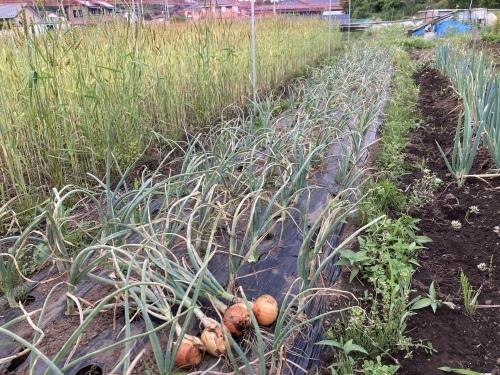 玉ねぎ収穫!_c0331145_21364884.jpg