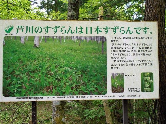 芦川のスズラン群生地に行ってきました。_d0153860_08431604.jpg