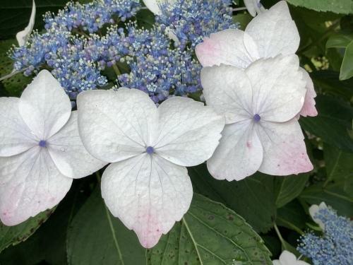5月の庭の紫陽花_d0336460_03273183.jpeg