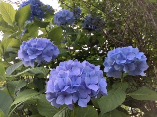5月の庭の紫陽花_d0336460_03531482.jpeg