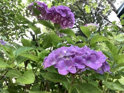 5月の庭の紫陽花_d0336460_03540953.jpeg