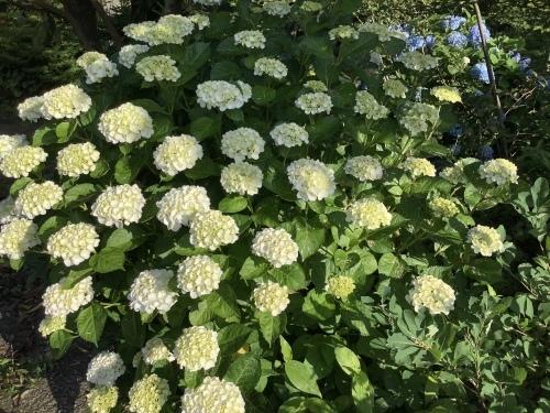 5月の庭の紫陽花_d0336460_03552217.jpeg