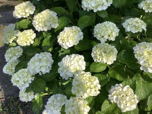 5月の庭の紫陽花_d0336460_03561774.jpeg