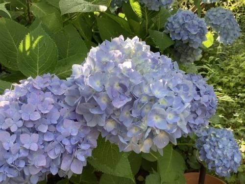 5月の庭の紫陽花_d0336460_04040898.jpeg