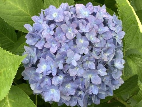 5月の庭の紫陽花_d0336460_04061821.jpeg