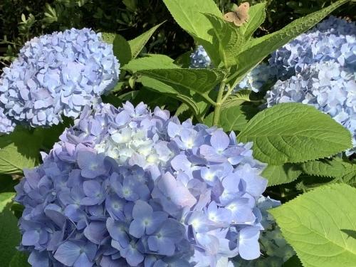 5月の庭の紫陽花_d0336460_04065912.jpeg