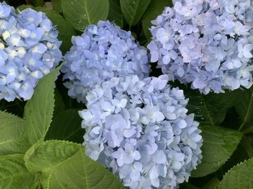 5月の庭の紫陽花_d0336460_04092750.jpeg