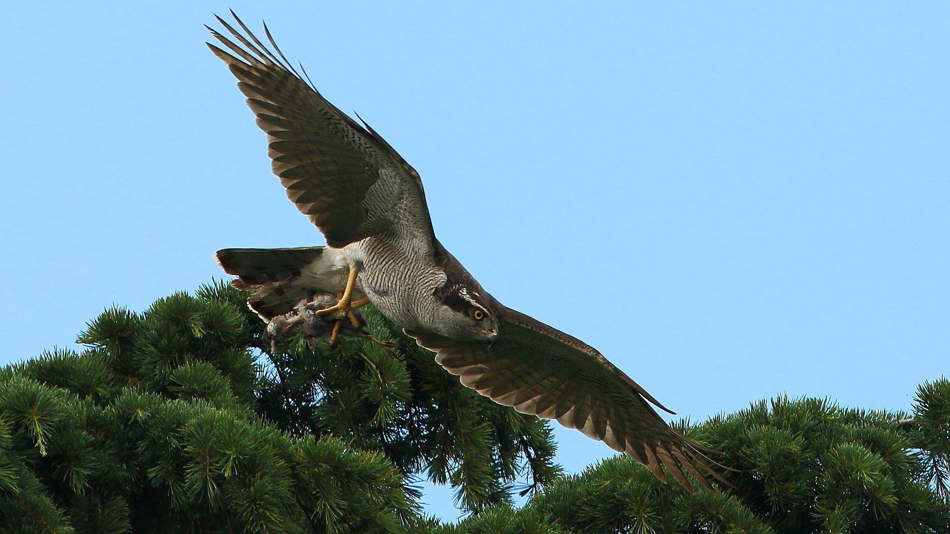 オオタカお母さんの飛翔_f0105570_18151684.jpg
