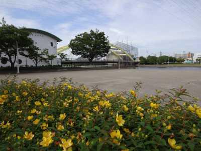 中川口緑地でキンシバイの花が咲いています!_d0338682_16270521.jpg