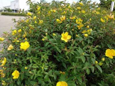 中川口緑地でキンシバイの花が咲いています!_d0338682_16273596.jpg
