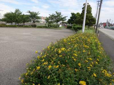 中川口緑地でキンシバイの花が咲いています!_d0338682_16293172.jpg