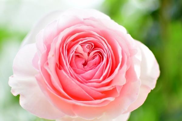 5月の庭の薔薇 2021_d0025294_18251013.jpg