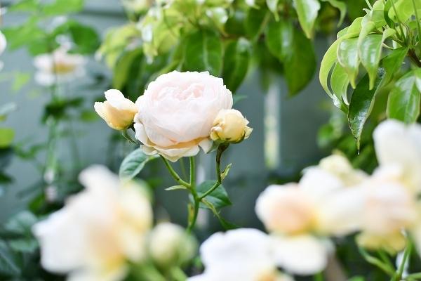 5月の庭の薔薇 2021_d0025294_18350868.jpg