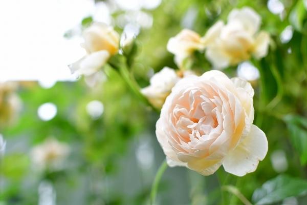 5月の庭の薔薇 2021_d0025294_18362650.jpg