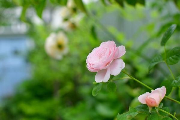 5月の庭の薔薇 2021_d0025294_18365497.jpg