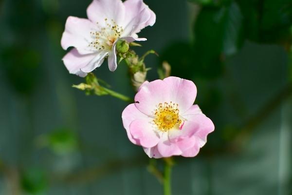 5月の庭の薔薇 2021_d0025294_18371141.jpg