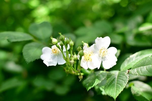 5月の庭の薔薇 2021_d0025294_18375506.jpg