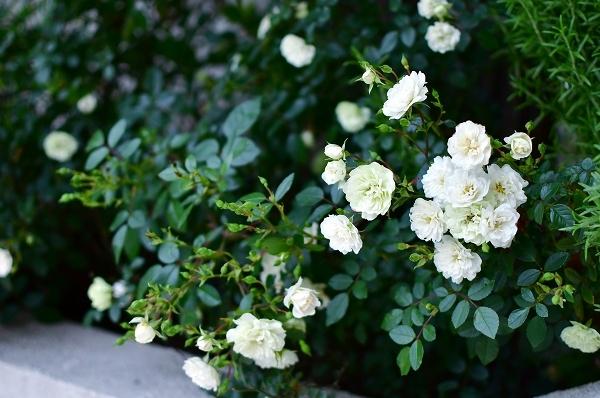 5月の庭の薔薇 2021_d0025294_18383251.jpg