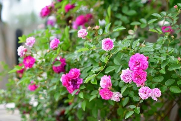5月の庭の薔薇 2021_d0025294_18384885.jpg