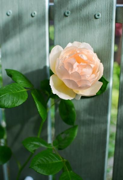 5月の庭の薔薇 2021_d0025294_18391290.jpg