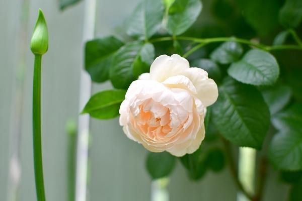 5月の庭の薔薇 2021_d0025294_18393254.jpg