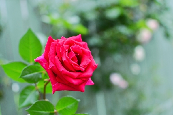 5月の庭の薔薇 2021_d0025294_18404599.jpg