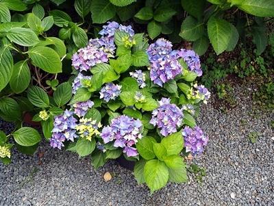 紫陽花がきれいです_f0129726_20473185.jpg