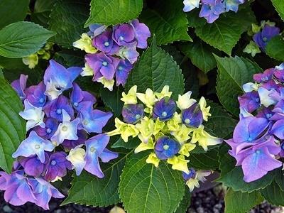 紫陽花がきれいです_f0129726_20473349.jpg