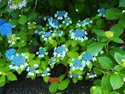 紫陽花がきれいです_f0129726_20474753.jpg