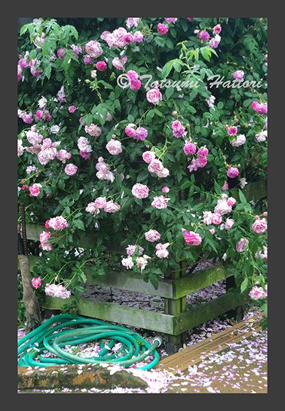 雨の日の薔薇たち 1_f0078127_08203833.jpg