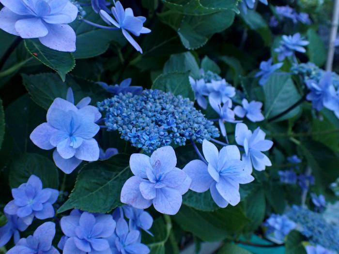 紫陽花の季節_c0120834_18374532.jpg