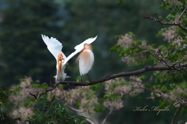 アマサギ(Cattle egret)・・・2_d0013455_21060795.jpg