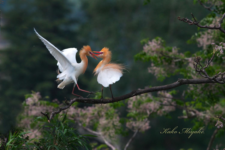 アマサギ(Cattle egret)・・・2_d0013455_21061447.jpg