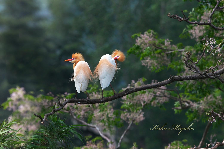 アマサギ(Cattle egret)・・・2_d0013455_21061820.jpg