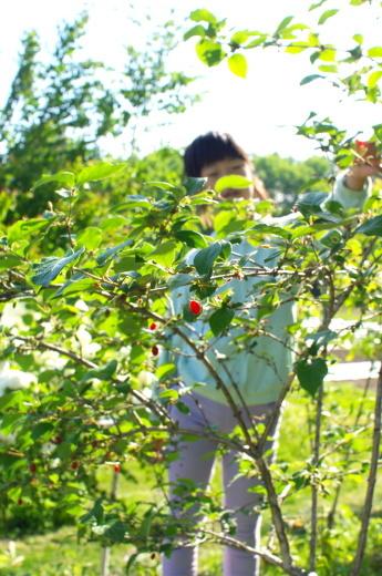 ウグイスカグラの実、今年初収穫。_c0110869_12152498.jpg