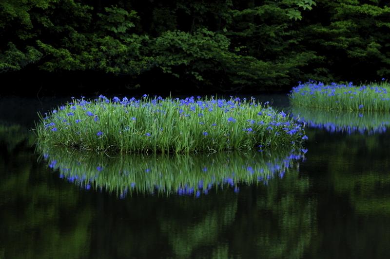平池 カキツバタ群生地 -Water Music-_c0196076_17570605.jpg