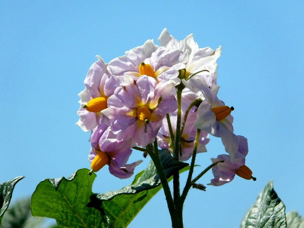 ジャガイモの花_b0301101_00061221.jpg